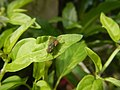 0998Ornamental plants in the Philippines 23.jpg