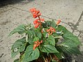 0998Ornamental plants in the Philippines 47.jpg