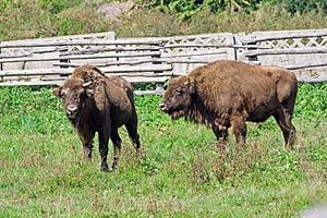 Hunedoara County - European bison in Hațeg nature reserve
