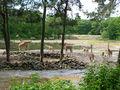 2006 burgers zoo giraffen nashoerner.JPG