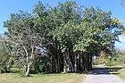2012-02 botanic garden Cienfuegos anagoria 03.JPG