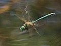 2013.07.07.-3-Drosedow--Glaenzende Smaragdlibelle-Maennchen im Flug.jpg