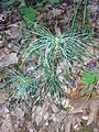 2014-08-26 17 42 28 Eastern White Pine seedling along the Appalachian Trail about 1.0 miles northeast of the Delaware Water Gap in Worthington State Forest, New Jersey.JPG