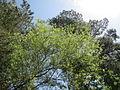 20140607Elaeagnus angustifolia2.jpg