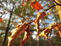 20141101Carpinus betulus1.jpg