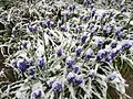 2015-04-08 07 58 14 A wet spring snow on Grape Hyacinth blossoms along 11th Street in Elko, Nevada.jpg