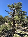 2015-04-28 10 36 16 An older Single-leaf Pinyon in South Fork Maverick Canyon, Nevada.jpg