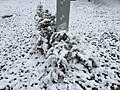 2016-03-04 07 28 33 Eastern Red Cedar saplings coated in a light wet snowfall along Tranquility Court in the Franklin Farm section of Oak Hill, Fairfax County, Virginia.jpg