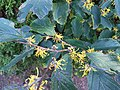 2016-11-02 16 42 20 American witch-hazel blooming along Tranquility Court in the Franklin Farm section of Oak Hill, Fairfax County, Virginia.jpg