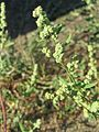 20160807Chenopodium album.jpg
