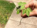 2017-05-20 Poison ivy.jpg