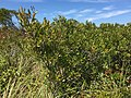 2017-09-04 12 28 12 Northern Bayberry along the sand road leading to Barnegat Inlet within the Southern Natural Area of Island Beach State Park, in Berkeley Township, Ocean County, New Jersey.jpg