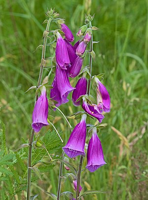 Purple foxglove - Digitalis purpurea