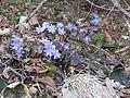 2018-03-13 (106) Hepatica nobilis (Liverleaf) at Haltgraben in Frankenfels.jpg