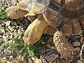 2018-10-20 Galápagos tortoise (Chelonoidis), Trimingham Trosh (3).JPG