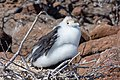 20180805-Great frigatebird (juvenile) at Seymour Norte (9222).jpg