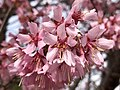 2020-03-16 14 38 23 Autumn Cherry blossoms along Charles Ewing Boulevard in Ewing Township, Mercer County, New Jersey.jpg