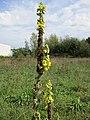 20200916Verbascum thapsus2.jpg