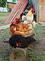 3 Hennen und ein Hahn.JPG