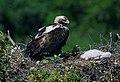 5159 Águila imperial y pollo.jpg