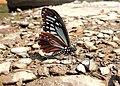 84斑鳳蝶2(邱美蘭攝) (19046812421).jpg