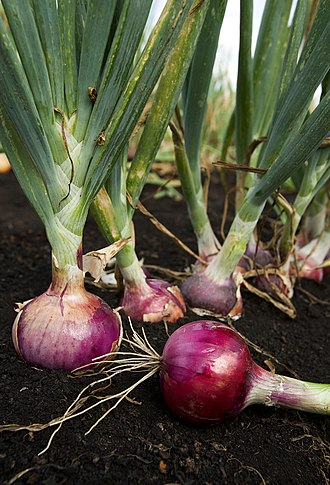 Onion - Roots, leaves and developing bulb