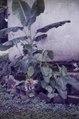 ASC Leiden - F. van der Kraaij Collection - 02 - 036 - Banana plants with two kittens - Monrovia, Montserrado County, Liberia, 1976.tiff