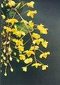 A and B Larsen orchids - Dendrobium aggregatum 609-14.jpg