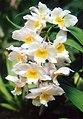 A and B Larsen orchids - Dendrobium farmeri pink 869-8.jpg