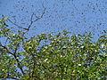 A bee swarm, Ganza (İsmayilli) 1.jpg