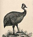 A cassowary bird standing on a rock. Reproduction of an etch Wellcome V0020798.jpg