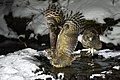 A couple of Blakiston's fish owls (1) (31558421096).jpg