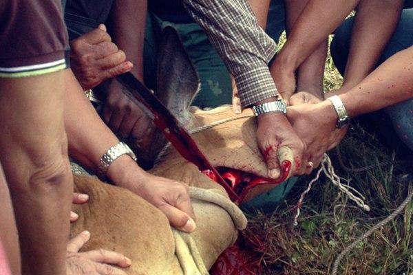 A cow being sacrificed, Qurbani Kurbani at the Islamic festival of animal sacrifice 2009