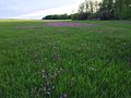 A damp field with flowering Shooting Star (Dodecatheon species) (14357335183).jpg