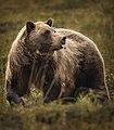 A grizzly bear eats berries near the park road on August 21, 2019. (d0352d12-1e58-4a23-b75d-29afb8a57d76).JPG