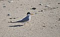 A least tern at the Nantucket National Wildlife Refuge, MA. Credit- Amanda Boyd-USFWS (5974497191).jpg