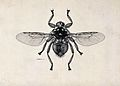 A louse fly (Hippobosca rufipes). Pen and ink drawing by A.J Wellcome V0022583.jpg