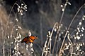 A monarch butterfly at Lighthouse Field State Beach in Santa Cruz, California. (38735363070).jpg