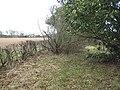 A narrow wood, Luffness - geograph.org.uk - 920391.jpg