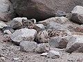 A snow leopard wild Ladakh DSCN4780 02.jpg