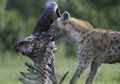 A spotted hyena (Crocuta crocuta) removes flesh from a long-dead ungulate - journal.pone.0060797.g001-E.png