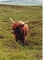 A wonderful specimen - Highland cow - geograph.org.uk - 285654.jpg
