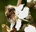 Abeja - Bee - Abella - Apis mellifera (4726888594).jpg