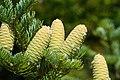 Abies holophylla Manchurian Fir cones.jpg