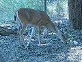 Abilene State Park Deer.jpg