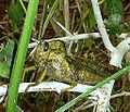 Abisares viridipennis, b, Krantzkloof NR.jpg