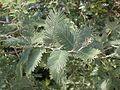 Acacia dealbata kz1.jpg