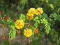 Acacia eburnea Willd. - Flickr - lalithamba.jpg