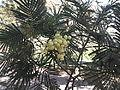 Acacia mearnsii-3-sanyasi mallai-yercaud-salem-India.JPG
