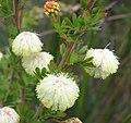 Acacia mitchelii.jpg